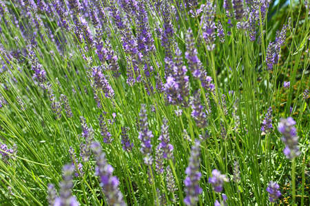 Lavender, flowering shrubs with purple flowers, green stems. 版權商用圖片