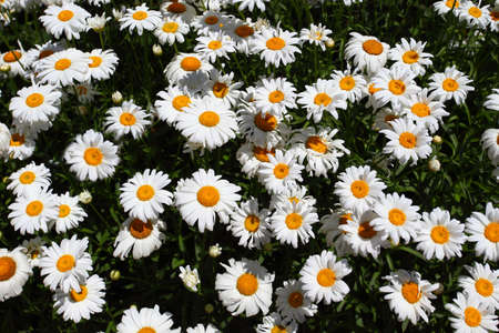 Chamomile flowers, many buds with white petals