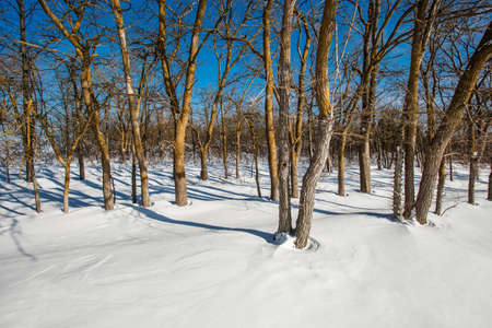 Snow in the winter forest, trees without leaves, on a clear day.