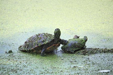 smug: Smug turtle in the wild Stock Photo