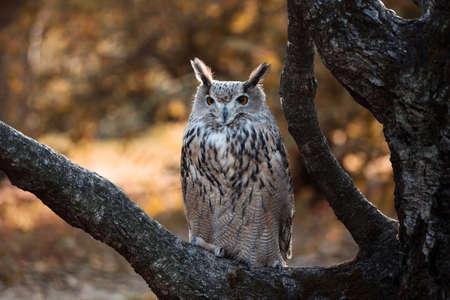 Eurasian eagle-owl on a tree branch in autumn