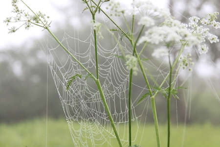White anise flowers with a cobweb