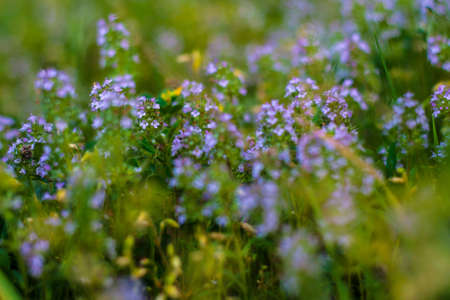Blooming Herbs meadow flower