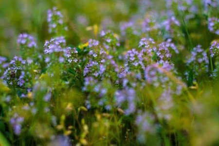Blooming Herbs meadow flower