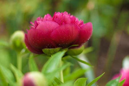 Dark pink peony flower opening its petals in the sunlight Foto de archivo