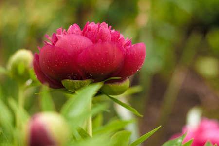 Dark pink peony flower opening its petals in the sunlight 写真素材