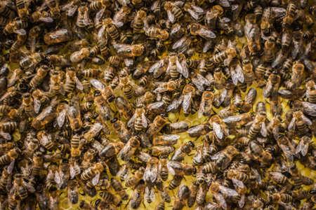 honeybee: Yellow Beautiful Honeycomb with Honey and bees Background Stock Photo