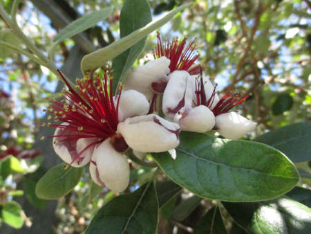 pinkish: flowers feijoa. flowers feijoa. The flowers small and medium sized Often collected in groups are pinkish white Numerous have Numerous stamens very showy red violet Stock Photo