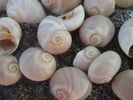 seaa: gastropod shells on the beach Stock Photo
