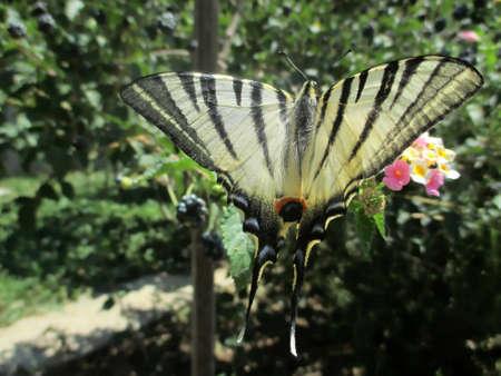 scarce: Scarce Swallowtail butterfly