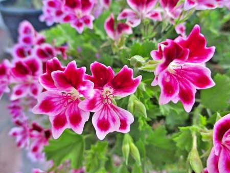 certain: Certain especially geranium flowers Stock Photo