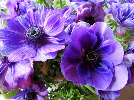 anemones: flowers purple anemones Stock Photo