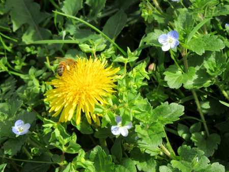 speedwell: Dandelion with bee in a meadow with flowers speedwell