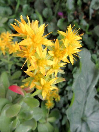 crassula: crassula flowers - Sedum