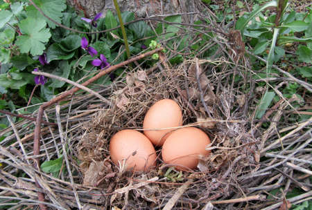 under a tree: nest with eggs under a tree in the garden