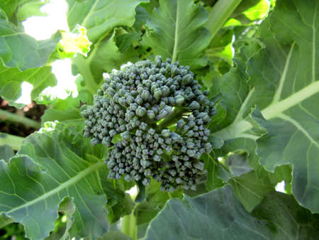 inflorescence: detail of an inflorescence of Broccoli - Brassica oleracea