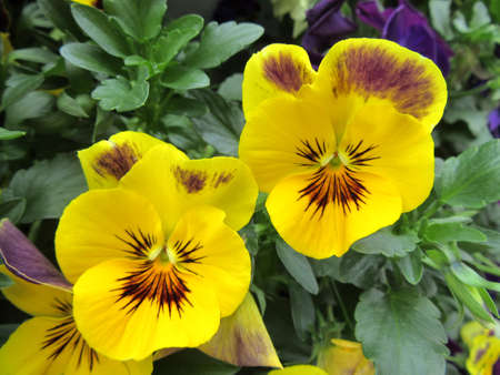 yellow: yellow pansies