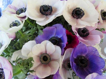 anemones: flowers of anemones