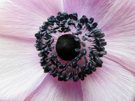 ovario: detalle del ovario y estambres de una an�mona