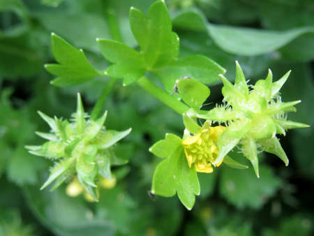 buttercup: Immature fruits of buttercup Stock Photo