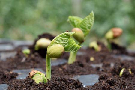 germinaci�n: semilla de frijol en la germinaci�n