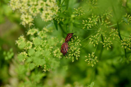 lineatum: graphosoma lineatum couple of inflorescence of parsley