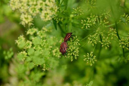 graphosoma: graphosoma lineatum couple of inflorescence of parsley