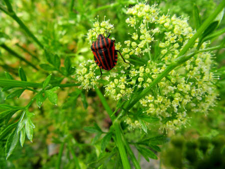 lineatum: specimen of graphosoma lineatum of inflorescence of parsley