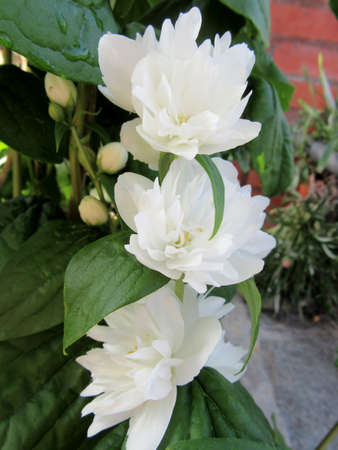 philadelphus: white flowers of Philadelphus Stock Photo