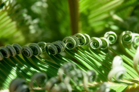 frond: detail of a young frond of cycads