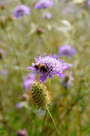 wild oats: field with wild flowers of Knautia arvensis and bee Stock Photo