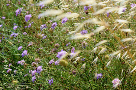 arvensis: field with wild flowers of Knautia arvensis and oats