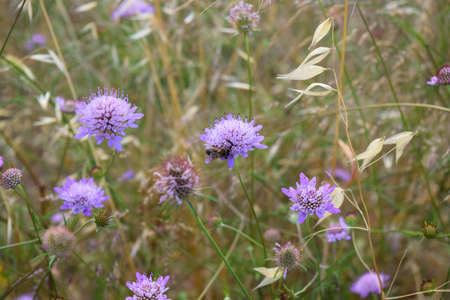 arvensis: field with wild flowers of Knautia arvensis and bee Stock Photo