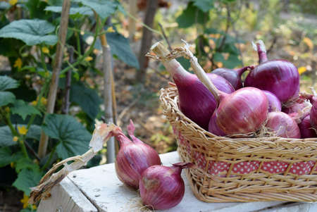 red onions: red onions in a basket on a table in a vegetable garden