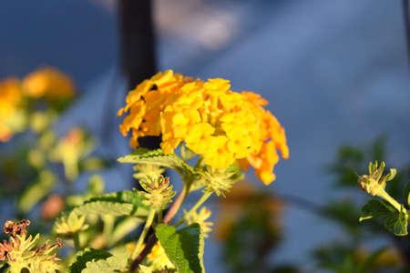 lantana: inflorescence yellow lantana Stock Photo