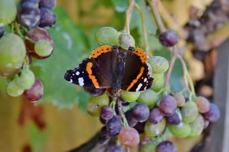 admiral: Red Admiral butterfly specimen Stock Photo