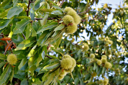 spiny: branch of a chestnut tree with spiny fruits