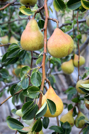 Branch of pear tree with fruits