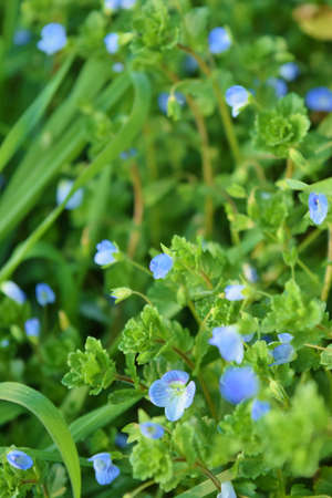 blue flowers of Veronica persica in a meadow