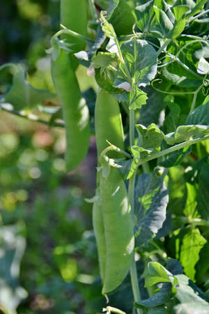 pea pod: Pea plants with mature pods