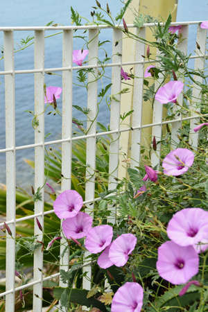 Pink flowers of bindweed on a railing near the sea