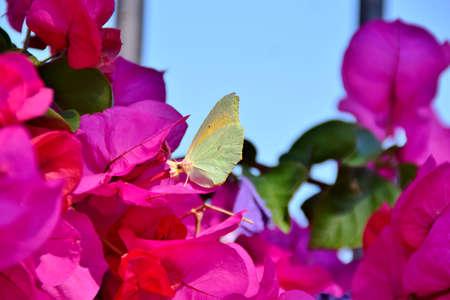The specimen of Gonepteryx rhamni is pink flowers of bougainvillea