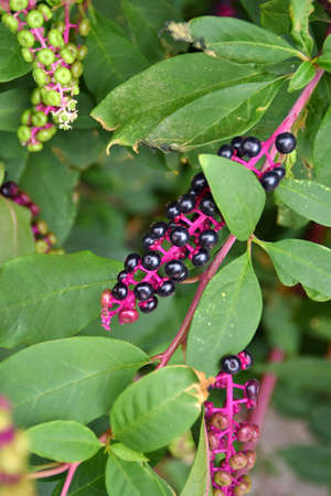 inflorescences of phytolacca with fruits