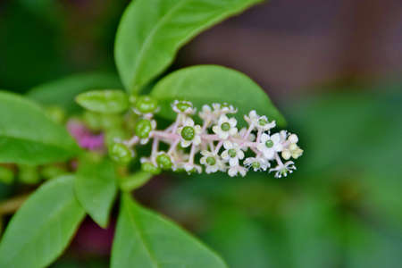 inflorescences of phytolacca