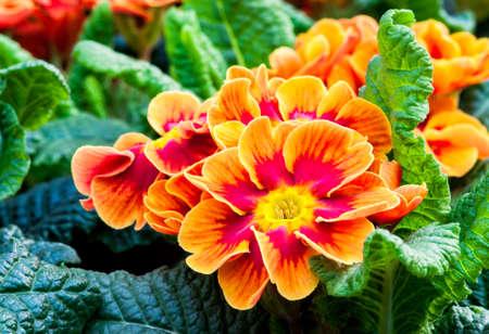 primula: Primula Vulgaris Seeds orange  Stock Photo