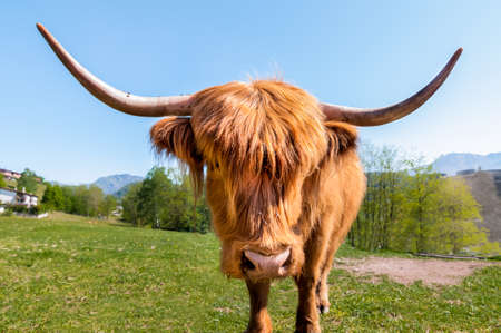 highlander: Scottish Highland Vaca
