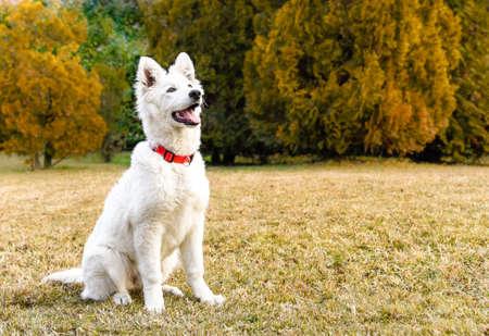 White Swiss Shepherd puppy Stock Photo