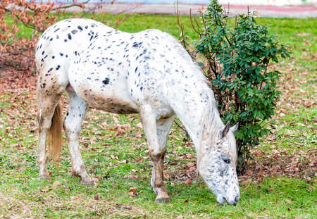 appaloosa: Appaloosa horse is eating grass on the lawn