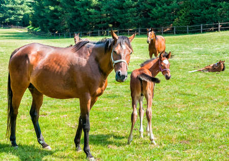 thoroughbred: English Thoroughbred foal horse with mare on the field