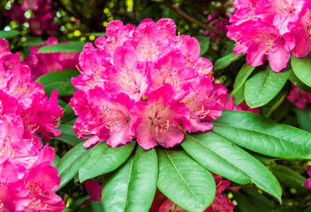 natures: Pink rhododendron flowers on a branch. Stock Photo